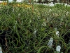 Twisted Dart Grass
