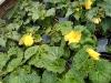 Yellow Tuberous Begonia