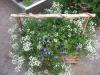 Torenia and Alyssum