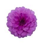 Dahlia Hypnotica Lavender 2_1