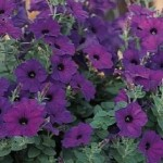 Petunia - Easy Wave® Blue