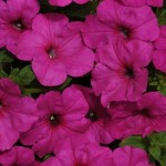 Petunia - Easy Wave® Neon Rose