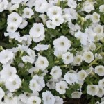 Petunia - Easy Wave® White
