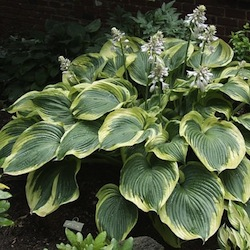 Hosta - Earth Angel