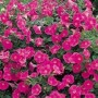 Stand-Alone Spreading Petunia Varieties
