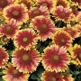 Gaillardia - Arizona Sun