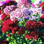 Dianthus barbatus - Amazon Rose Magic