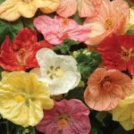 Abutilon - Bella Select Mix