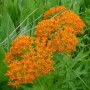 Asclepias Tuberosa (Butterfly Weed) - Butterfly Flower
