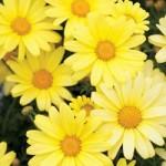 Argyranthemum - Butterfly Yellow
