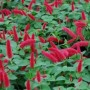 Acalypha - Chenille Firetails