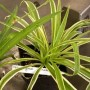 Chlorophytum - Spider Plant - Green Edge