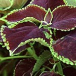 Coleus - Chocolate Mint