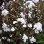 Eupatorium rugosum - Chocolate
