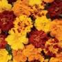 Marigold - French - Durango® Mix Outback