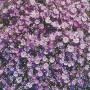 Gypsophila - Gypsy Deep Rose