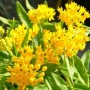 Asclepias Tuberosa (Butterfly Weed) - Hello Yellow