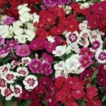 Dianthus - Ideal Select Mix