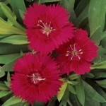 Dianthus - Ideal Select Red