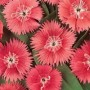 Dianthus - Ideal Select Salmon