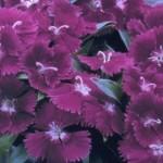 Dianthus - Ideal Select Violet
