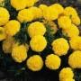 Marigold - African - Inca II Yellow