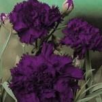 Carnation - Grenadin King of Black
