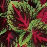Coleus - Kong Red