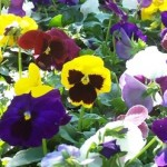 Violas (Violets and Pansies)