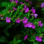Cuphea - Mexican Heather Purple
