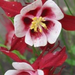 Aquilegia - Columbine - Origami Red and White