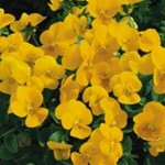 Viola - Penny™ Yellow