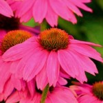Echinacea purpurea - Pow Wow Wildberry