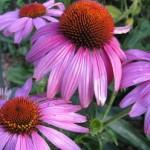 Echinacea purpurea - Prairie Splendor™