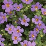 Bacopa - Scopia™ Great Purple