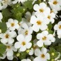 Bacopa - Scopia™ Gulliver Basket White