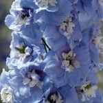 Delphinium - Magic Fountains Sky Blue