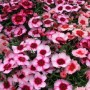Dianthus - Super Parfait™ Raspberry