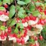 Fuchsia - Swingtime