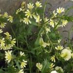 Scaevola (Fan Flower)