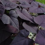 Ipomea - Sweet Potato Vine - Ace of Spade