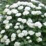 Hydrangea - Annabelle