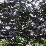 Pseuderanthemum - Black Varnish