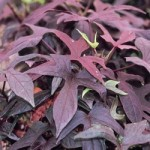 Ipomea - Sweet Potato Vine - Blackie
