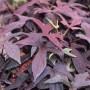 Ipomea - Sweet Potato Vine - Blackie