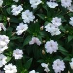 Sunpatiens® - Compact White Imp