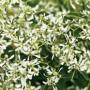 Euphorbia - Diamond Frost