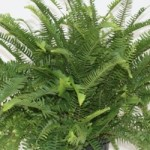 Fern - Nephrolepis - Emerald Queen