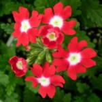 Verbena - Obsession™ Red with Eye
