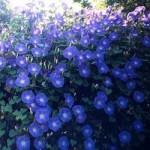 Morning Glory - Heavenly Blue